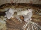 103. Это какие-то неправильные крысы! Автор: Василиса Григорьева, Москва
