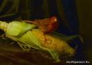 32. Любитель кукурузы. Автор: Людмила Семенова, г. Санкт-Петербург