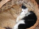 Два кота. Автор: Евгения Чурикова