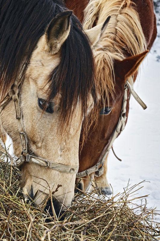 15. Лошади кушают. Автор: Дмитрий Войнов. Майкоп