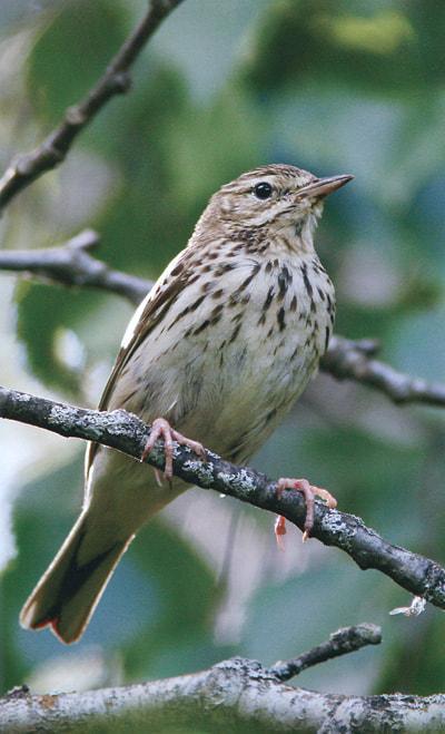 Птицы,обитающие в средней полосе грач. смотрите так же корм для птиц.